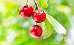 Весенняя подкормка вишни: особенности и состав удобрений