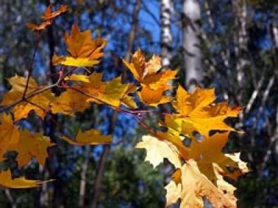 Когда заканчивается листопад у березы, липы, кленов