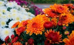 Выкапывать ли на зиму хризантемы мультифлора. Правила ухода за цветком в открытом грунте