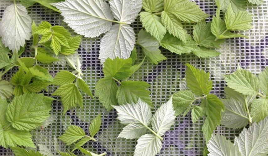 свойство листьев малины