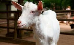 Зааненская порода коз – белоснежный молочный рекордсмен. Описание, содержание, размножение