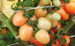 Яркий румянец: секреты выращивания сливовидного томата. Подробное описание и рекомендации садоводов