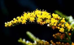 Как вырастить красивую лекарственную культуру золотарник обыкновенный