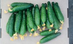 Огурец Мамлюк F1: характеристики, агротехника, реальные отзывы