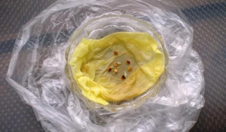 выращивание сладкого перца из семянм