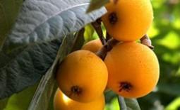 Особенности японского вида мушмулы. Посадка и выращивание культуры в домашних условиях