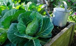 Как повысить урожайность капусты: общие тонкости подкормки культуры