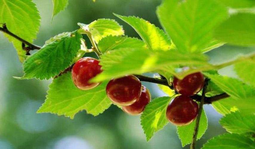 заготовки из войлочной вишни