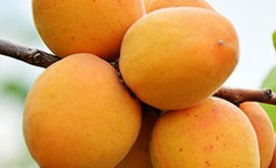 Погремок — урожайный сорт абрикоса