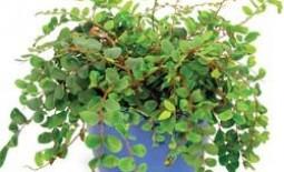 Вьющиеся комнатные растения: агротехника выращивания