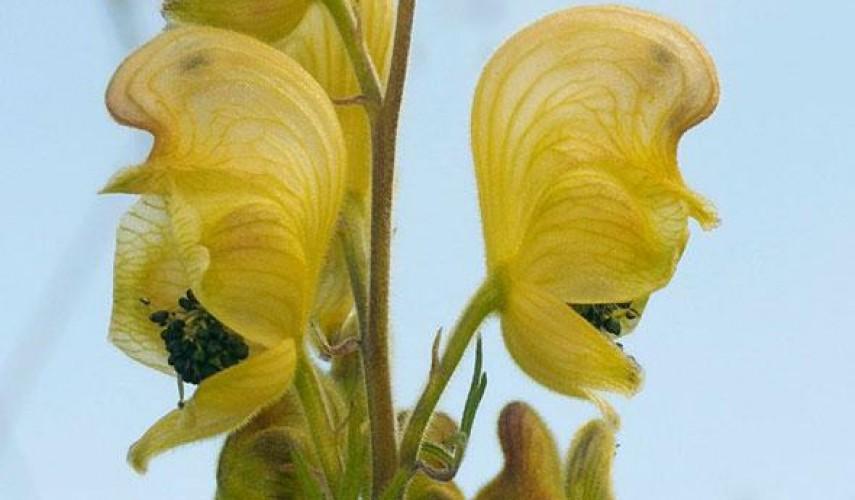 выращивание аконита