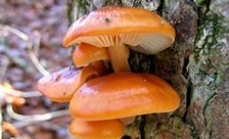 Секреты зимних опят, внесезонных даров леса