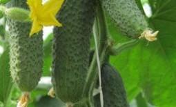 Огурцы «Кибрия»: описание гибрида и особенности его агротехники
