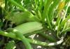 Сорт кабачка Кавили