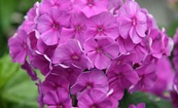 Секреты весенне-летних подкормок для пышно цветущих флоксов