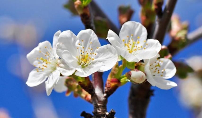 Обработка яблонь весной