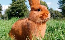 Кролики новозеландской породы: белые и красные