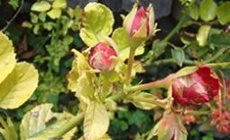 У розы желтеют листья — лечение и уход