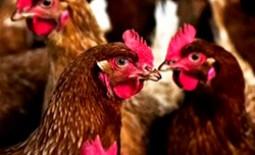 Как определить сальмонеллез у кур и вылечить птиц от недуга