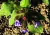 выращивание медуницы