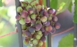 Опора для винограда: советы как сделать своими руками и фото конструкций