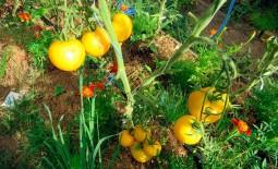 Томат желтый Золотая королева: урожайность, описание, отзывы