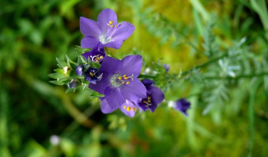 выращивание синюхи