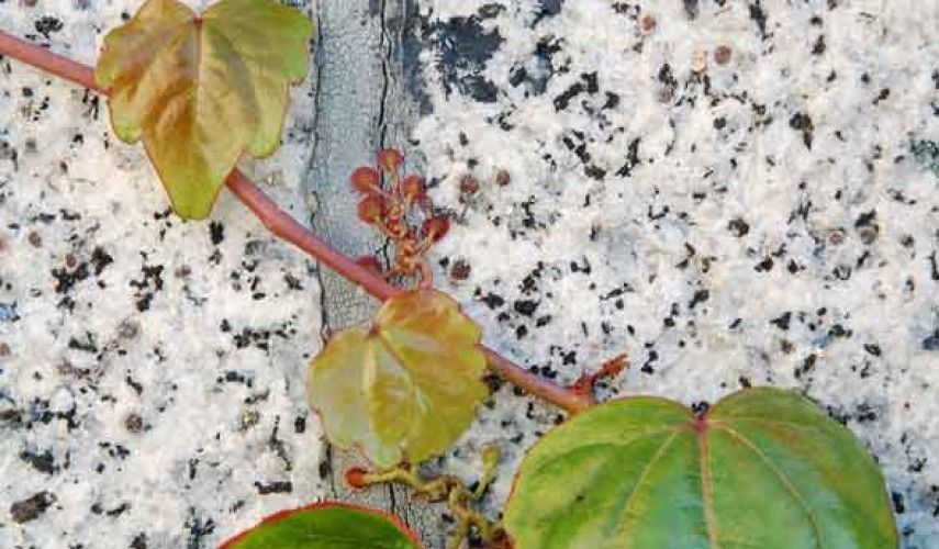 выращивание девичьего винограда в сибири