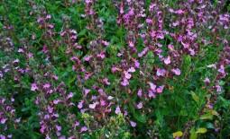 Дубровник — красивое и полезное растение для сада. Нюансы ухода и выращивания