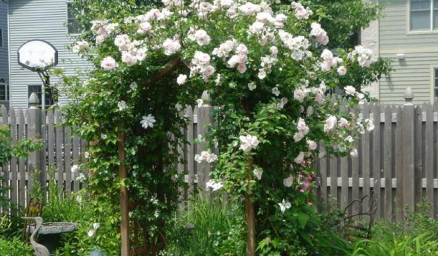 сорта вьющейся розы