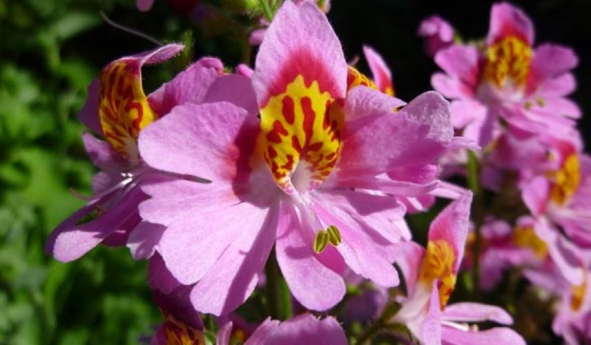 выращивание схизантуса