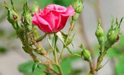 Как избавиться от тли на розах: простые способы ликвидации вредителя