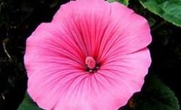 Лаватера многолетняя (Хатьма) — «Дикая роза»: посадка, уход и выращивание