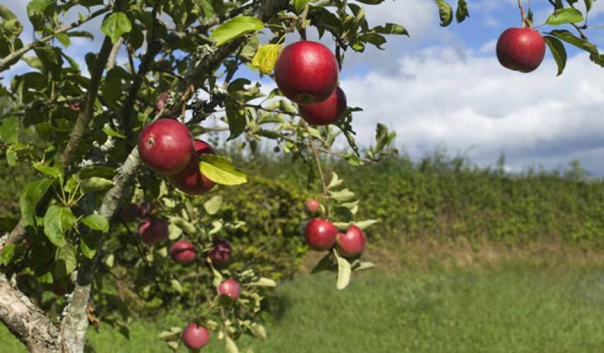Осенняя обработка яблони