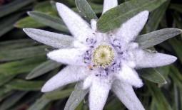 Как вырастить в обычном саду эдельвейс — цветок гор
