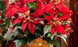 Пуансетия – как сохранить «рождественскую звезду» до следующего года