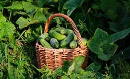 Обработка огурцов зеленкой и йодом: тонкости применения в открытом грунте