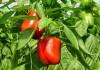 болгарский перец в теплице