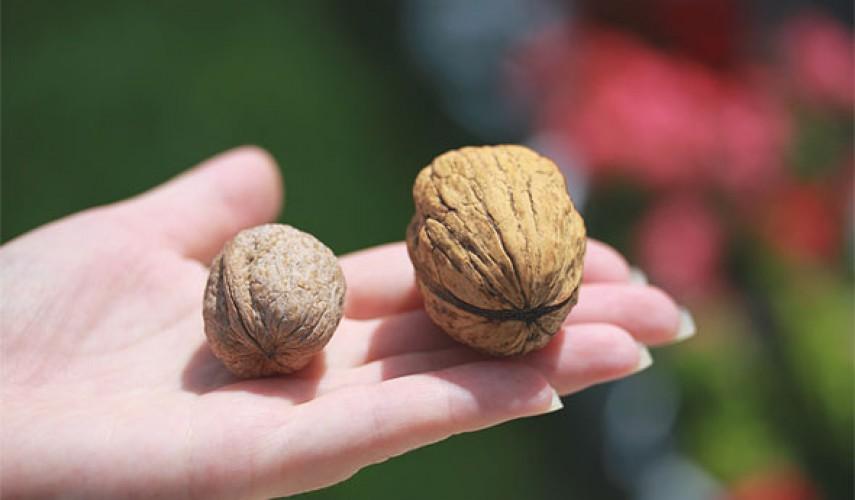 выращивание грецкого ореха