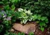 выращивание хосты