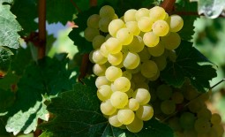 Морозоустойчивый виноград Восторг: описание, плюсы и минусы, особенности выращивания, отзывы
