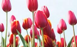 Выращивание тюльпанов: весенняя подкормка растений