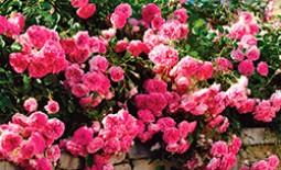 10 популярных сортов почвопокровных роз