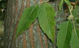Как бороться с кленом ясенелистным: описание дерева, суть проблемы, способы ее решения