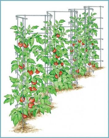 как подвязать томаты на шпалеру