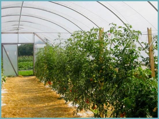 зачем подвязывать помидоры