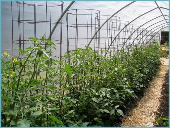 способ подвязки помидоров в теплице