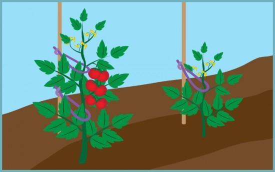 самый простой способ подвязать томаты