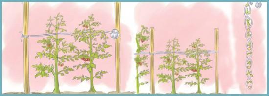 как можно подвязать помидоры