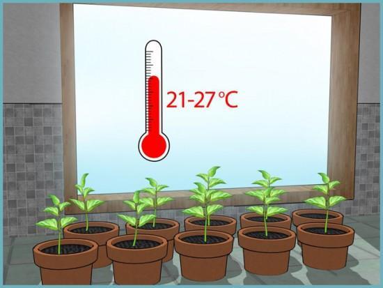 температура в теплице для болгарского перца